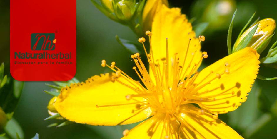 Hipérico o hierba de San Juan, propiedades, beneficios y usos medicinales